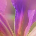 Iris Panorama by Judi Bagwell