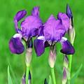 Iris by Rich Bodane