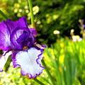 Iris by Samiksa Art
