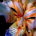 Iris Splendor 3 by Lynda Lehmann
