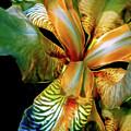 Iris Splendor 7 by Lynda Lehmann