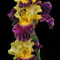 Iris Triple by Dave Mills