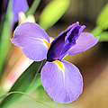 Iris Unfolding IIi by Theresa Campbell