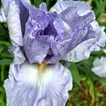 Iris Up Close by Robert G Kernodle
