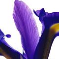 Iris by Vah Pall