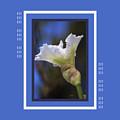 Iris White With Design by Joy Watson