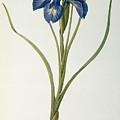 Iris Xyphioides by Pierre Joseph Redoute