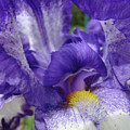 Irises Artwork Purple Iris Flowers Art Prints Canvas Baslee Troutman by Baslee Troutman