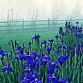 Irises At Dawn 3 by Sarah Loft