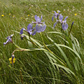 Irises By The Sea by Sven Brogren