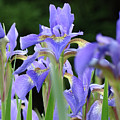 Irises Flowers Art Prints Blue Purple Iris Floral Baslee Troutman by Baslee Troutman
