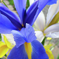 Irises Flowers Artwork Blue Purple Iris Flowers 1 Botanical Floral Garden Baslee Troutman by Baslee Troutman