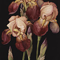 Irises by Jenny Barron
