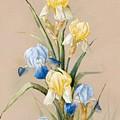 Irises by MotionAge Designs