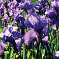Irises Princess Royal Smith by Susan Savad