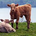Irish Calves At Lough Eske by Teresa Mucha