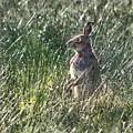irish Hare by Debbie Deboo
