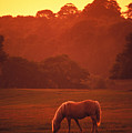 Irish Horse In Gloaming by Carl Purcell