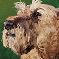 Irish Terrier by Carl Conway