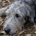Irish Wolfhound Ivan by Agustin Uzarraga