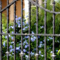 Iron Gate And Blue Flowers by Diane Merkle