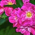 Irresistible Rose - Paint by Steve Harrington