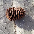Island Pine by Sam Davis Johnson