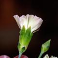 Isolated Flower  by Scott Bryan