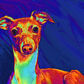 Italian Greyhound  by Jane Schnetlage