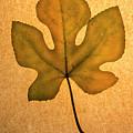 Italian Honey Fig Leaf 4 by Frank Wilson