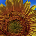 Italian Sunflower With Bees by Jon Cretarolo