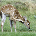 Itchy Fawn by Gary Beeler