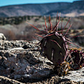 Itty Bitty Prickly Pear Cactus by Susie Weaver