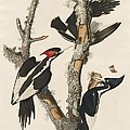 Ivory-billed Woodpecker by Robert Havell After John James Audubon