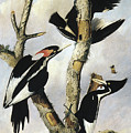 Ivory-billed Woodpeckers by Granger