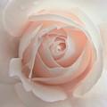 Ivory Peach Pastel Rose Flower by Jennie Marie Schell
