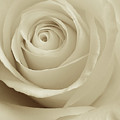 Ivory Rose by Don Spenner