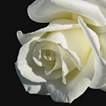 Ivory Rose Flower On Black by Jennie Marie Schell