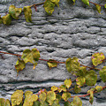 Ivy And Ancient Wall In Old Montreal Hd Photography by Tina Lavoie