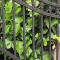 Ivy And Gate by Carol Groenen