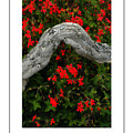 Ivy Geraniums And Log Poster by Mike Nellums