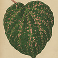 Ivy Leaf, Cissus Porphyrophyllus  by English School