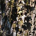 Ivy Leaves Grunge Tone by Arletta Cwalina