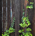 Ivy On Fence by Clayton Bruster