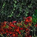 Ivy Over by Richard Gordon