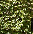 Ivy Sunlight by Ron Koivisto