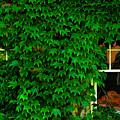 Ivy Window by Harry Spitz