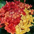 Ixora Flower Mix by Florene Welebny