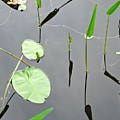 Izzy's Pond Close Up by AnnaJanessa PhotoArt