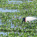 Jabiru by Mike Timmons